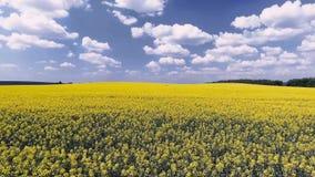 Campo agrícola com violação amarela de florescência, contra o céu azul Silhueta do homem de negócio Cowering video estoque