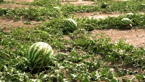 Campo agrícola con las sandías maduras almacen de video