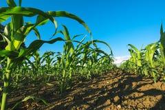 Campo agrícola de la cosecha del maíz Foto de archivo