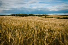 Campo agrícola debajo de un cielo nublado oídos del centeno en el primero plano Imagen de archivo libre de regalías