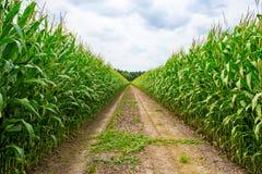 Campo agrícola em que o milho verde cresce imagem de stock