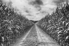 Campo agrícola em que o milho verde cresce, hdr fotografia de stock