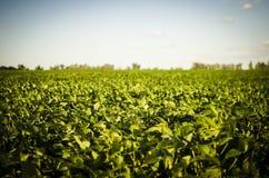 Campo agr?cola hermoso de plantas verdes fotos de archivo libres de regalías