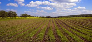 Campo agrícola verde de la puerca en país Imagen de archivo libre de regalías