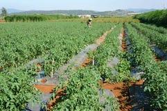 Campo agricolo asiatico, azienda agricola del pomodoro Fotografia Stock