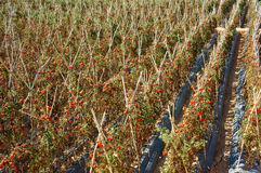Campo agricolo asiatico, azienda agricola del pomodoro Immagini Stock