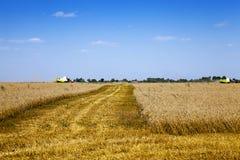 Campo agricolo cereali Fotografia Stock