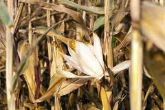 Campo agricolo con cereale asciutto Fotografie Stock Libere da Diritti