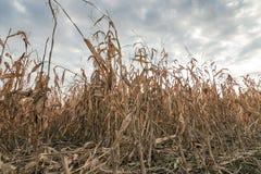 Campo agricolo con l'autunno del cereale Autunno del campo di grano Fotografia Stock Libera da Diritti
