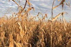 Campo agricolo con l'autunno del cereale Autunno del campo di grano Immagine Stock