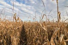 Campo agricolo con l'autunno del cereale Autunno del campo di grano Fotografie Stock Libere da Diritti