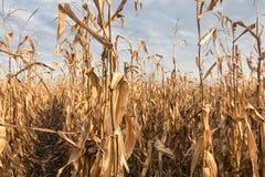 Campo agricolo con l'autunno del cereale Autunno del campo di grano Fotografie Stock