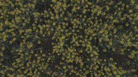 Campo agricolo con la violenza gialla di fioritura, contro il cielo blu stock footage