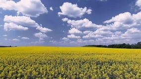 Campo agricolo con la violenza gialla di fioritura, contro il cielo blu video d archivio