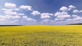 Campo agricolo con la violenza gialla di fioritura, contro il cielo blu archivi video