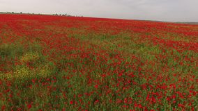 Campo agricolo con Poppy Flowers stock footage