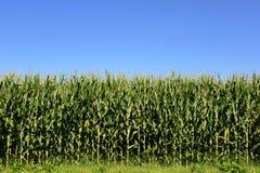 Campo agricolo delle piante di cereale, zea mays Immagini Stock