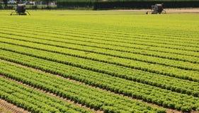 Campo agricolo gigante con lattuga ed irrigazione automatica d Fotografia Stock