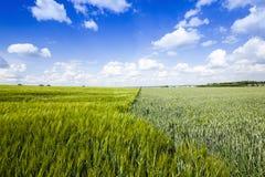 campo agricolo non maturo Fotografia Stock