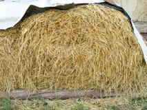 Campo agricolo Pacchi rotondi di erba asciutta nel campo contro il cielo blu fine del rotolo del fieno dell'agricoltore su immagini stock