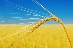 Campo alto e giallo di fine dell'orecchio del grano con cielo blu Immagini Stock Libere da Diritti