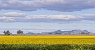 Campo amarelo fotografia de stock