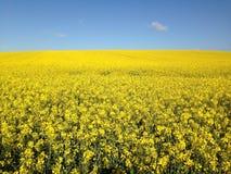 Campo amarelo Imagens de Stock Royalty Free
