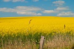 Campo amarelo Imagem de Stock Royalty Free