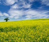 Campo amarelo com árvore solitária Foto de Stock Royalty Free