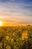 Campo amarelo com o sol no fundo em um por do sol dourado Imagens de Stock