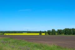 Campo amarelo da colza da paisagem, contra o céu azul e as árvores Imagem de Stock Royalty Free
