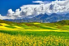 Campo amarelo da flor da violação fotografia de stock royalty free