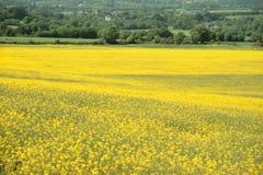 Campo amarelo da mostarda Imagens de Stock