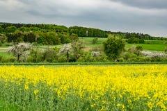 Campo amarelo da semente na primavera foto de stock