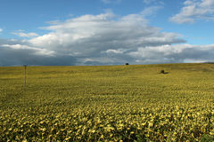 Campo amarelo da Sun-flor Fotos de Stock