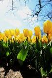 Campo amarelo da tulipa sob a luz solar brilhante fotos de stock royalty free
