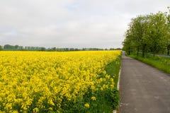 Campo amarelo da violação Imagem de Stock