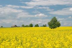 Campo amarelo da violação e árvore só Fotografia de Stock