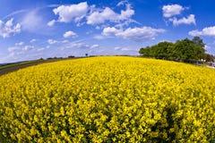 Campo amarelo da violação na mola Foto de Stock