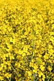 Campo amarelo da violação na mola Fotos de Stock