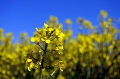 Campo amarelo das colzas em Alemanha Imagem de Stock
