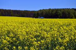 Campo amarelo das colzas em Alemanha Fotos de Stock Royalty Free