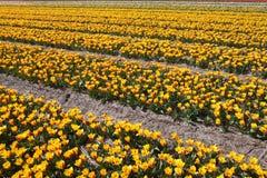 Campo amarelo das tulipas Imagem de Stock