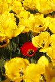 Campo amarelo das tulipas Fotografia de Stock Royalty Free