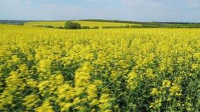 Campo amarelo de florescência do canola Paisagem do verão com céu azul e nuvens filme