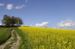 Campo amarelo de trilhas da flor e do trator da couve-nabiça Imagem de Stock