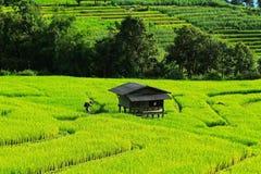 Campo amarelo do arroz Imagem de Stock Royalty Free