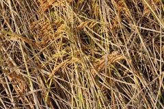 Campo amarelo do arroz Fotos de Stock Royalty Free