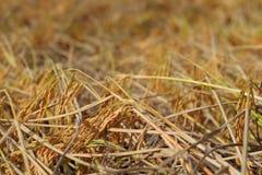 Campo amarelo do arroz Imagens de Stock Royalty Free
