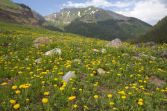 Campo amarelo do dente-de-leão com montanha imagens de stock royalty free